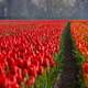 Red Tulip Fields in Holland, Netherlands