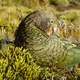 Kea Mountain Parrot sitting