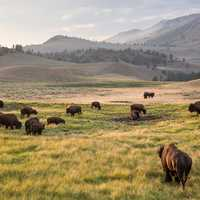 Bison in the Lamar Valley
