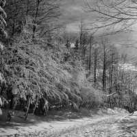 Black and White snow forest
