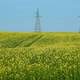 Canola field with Telephone towers