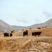 Cows standing and grazing in the hills