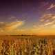Farm and cornstalks landscape
