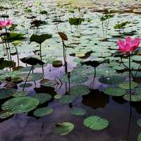 Lotus Pond Landscape with lillies