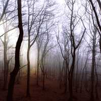 Misty and mysterious Forest trees