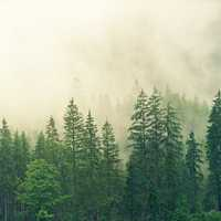 Misty Pine Tree Forest