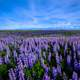 Purple Flower Field landscape