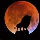 Lion howling at the Red Moon