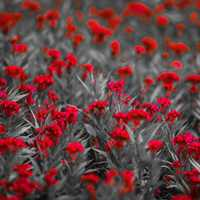 Red Flowers on monochrome field