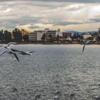 Seagulls over the water with city in the backgroound