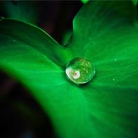 Water Droplet in center of leaf