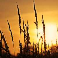 Wheat stalks in the sunlight