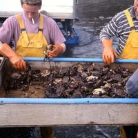 Fishermen sorting velvet crabs at Fionnphort, Scotland