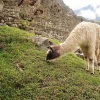 Llama Feeding on the Grass at Machu Picchu, Peru