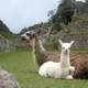 Two Llamas sitting in the Ruins of Machu Picchu, Peru