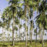 Palm Forest in the Philippines