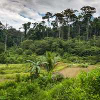 Trees, forest, greenery, and Jungle