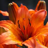 Beautiful orange lily flower