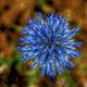 Blue Blooming flower Macro