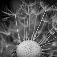 Close Up Macro dandelion seeds