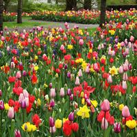 Colorful Tulips Flower Field