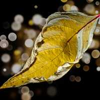 Crumbled Yellow Leaf