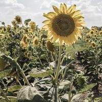 Giant summer sunflower