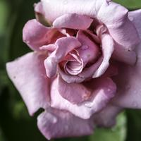 Layers Pink Rose