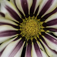 Macro of white and purple flower with yellow center