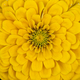 Many layered yellow flower