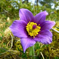 Mountain Pasqueflower - Pulsatilla alpina