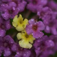 Purple and Yellow Flowers with water drops on them