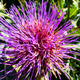 Purple flower with many long spiny petals