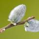 Pussy Willow on a branch