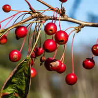 Red Berries on the branch
