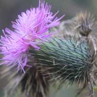 Thorny Purple Flower