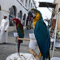 Parrots and birds on the streets in Doha, Qatar