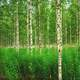Birch Forest in Russia