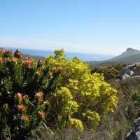Peninsula Sandstone Fynbos growing in Table Mountain National Park in Cape Town, South Africa