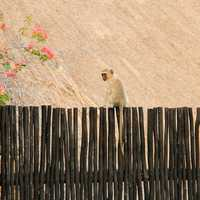 Monkey on the fence in Johannesburg, South Africa