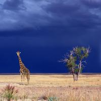 Giraffe in the landscape with Lightning in the Background