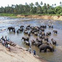 Herd of Elephants washing in the river in Sri Lanka
