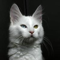 Angora Cat with different colored eyes in Ankara, Turkey