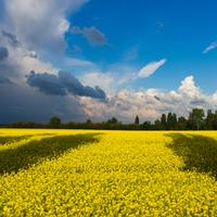 Yellow flower fields in Ukraine