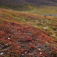 Wolverine's Trail with Lichens and Grass in Anchorage, Alaska