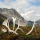 Antlers in the landscape in Gates of Arctic National Park, Alaska