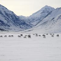 Caribou Migrating across the snowfields in the winter