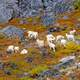 Dall Sheep Foraging on Lichen on the Rocks in Gates of the Arctic National Park