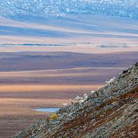 Goats on the Steep Mountainside in Gates of the Arctic National Park