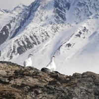Ptarmigan pair on the rocks at Gates of the Arctic National Park